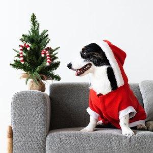 Corgi in santa hat and sweater